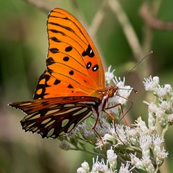 A gulf fritillary butterfly.
