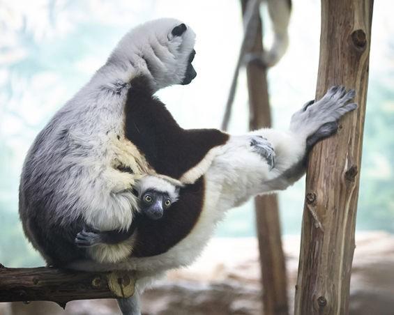 Kapika, a baby female Coquerel's sifaka, clings to her mom. - STEVE TRUESDELL