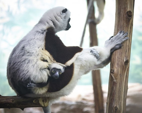 Kapika, a baby female Coquerel's sifaka, clings to her mom. - STEVE TRUESDELL