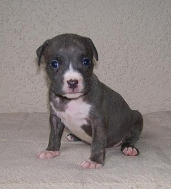 Pit bull pups. So adorable -- today.