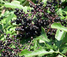 Elderberries -- curing AIDS and cancer? - IMAGE VIA