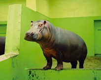 View images of animals in zoos at a powerful new exhibit, opening Friday at the Sheldon Art Galleries.