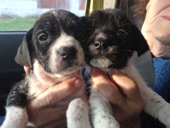 Morgan and Stanley, two black-and-white puppies with severe skin conditions, were rescued by Stray Rescue. - STRAY RESCUE
