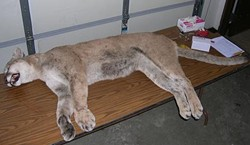 This lion killed Saturday in northeast Missouri weighed 128 pounds. - MISSOURI DEPARTMENT OF CONSERVATION