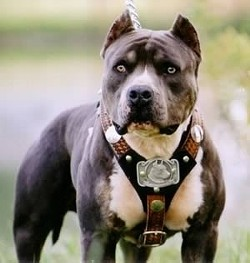 Pit bulls, what's not to love?
