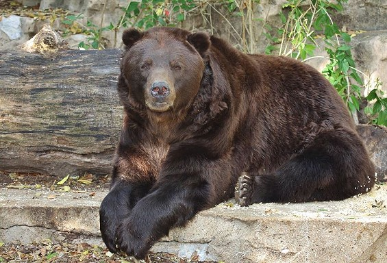 Bert was rescued from Alaska after being orphaned as a cub. - CHRISTOPHER CARTER/SAINT LOUIS ZOO