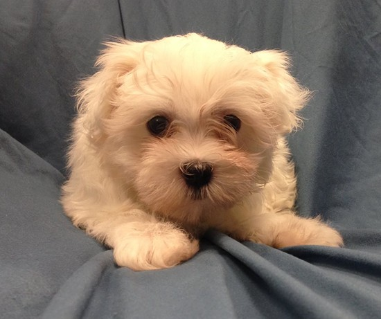 One of the stolen puppies. - PETLAND