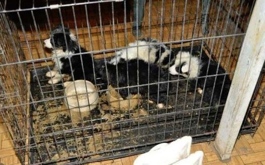 Puppies in a feces-smeared crate at Cloverleaf Kennel in Willow Springs, Missouri. - USDA, VIA THE HUMANE SOCIETY
