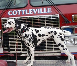 Indy, strutting her stuff aboard a fire truck. - IMAGE VIA
