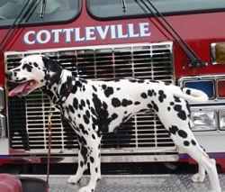 Indy, strutting her stuff aboard a fire truck. - IMAGE VIA