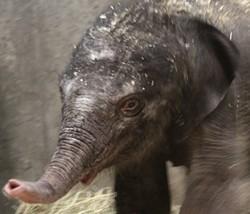 Saint Louis Zoo's new baby girl. - KATIE PILGRAM/SAINT LOUIS ZOO