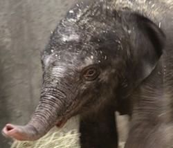 Saint Louis Zoo's new baby girl. - KATIE PILGRAM/SAINT LOUIS ZOO