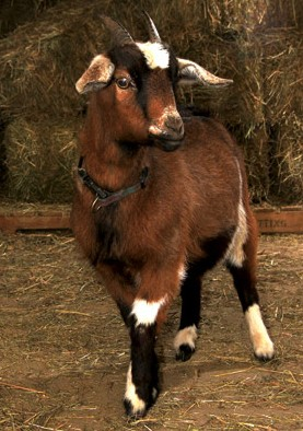 Tiny the Goat is in need of a sponsor. - IMAGE VIA