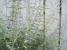 Lavender growing in south city. - KRISTIE MCCLANAHAN