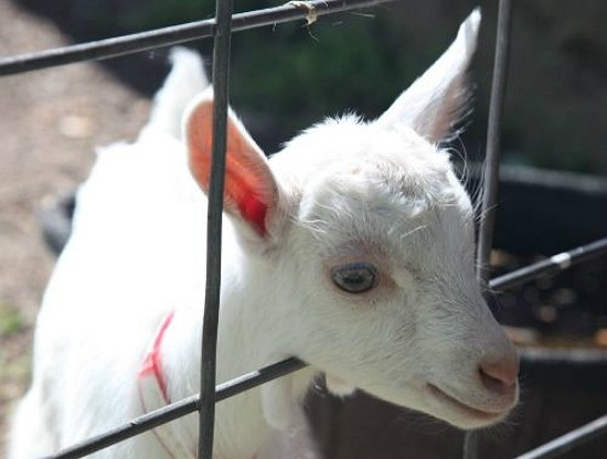 """""""Heidi goats,"""" as Veronica Baetje calls them, are impossibly adorable. - BETH FARROW CLAUSS"""