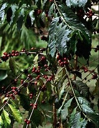 A coffee plant. - HANS PETER HEIN, WIKIMEDIA COMMONS