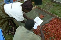 Sorting ripe coffee cherries at a washing station - PHOTO COURTESY SUSTAINABLE HARVEST STAFF