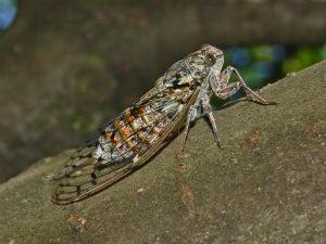 Yummy cicadas - WIKIMEDIA COMMONS