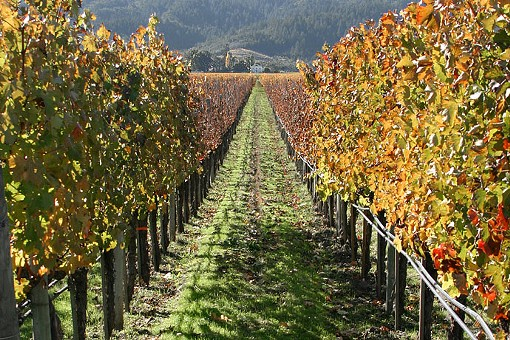 A Napa Valley vineyard: Could it yield surprises for the Noble Writ? - AARON LOGAN, WIKIMEDIA COMMONS