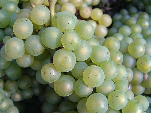 A close-up of chardonnay grapes. - DAN RANDOM, WIKIMEDIA COMMONS