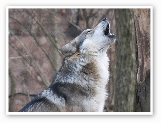 Wine and cheese? Awwooooo!! | Courtesy of PJ Harrison for Endangered Wolf Center