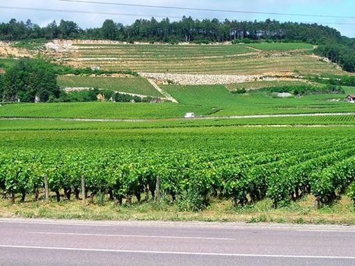 A vineyard in the Côtes de Nuits