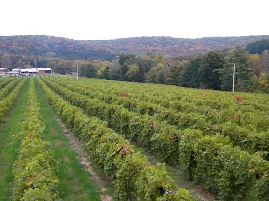 A view of a vineyard at Augusta Winery in Augusta, Missouri - IMAGE VIA
