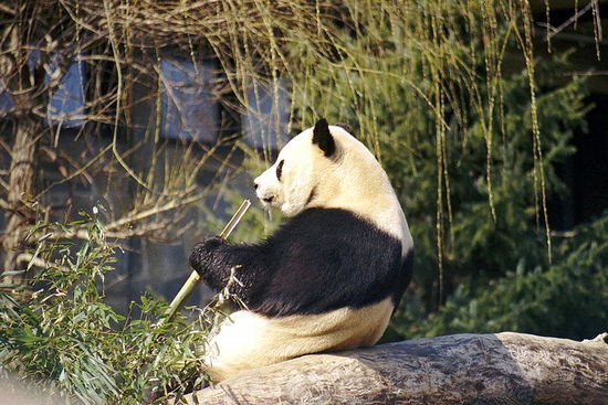 Hey, panda! We have plans for that bamboo when you're done with it. - IMAGE VIA
