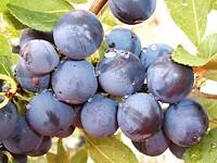 Tastes like...plums.