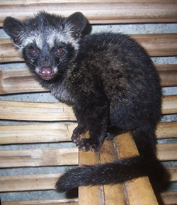 A civet. - W. DJATMIKO VIA WIKIMEDIA COMMONS