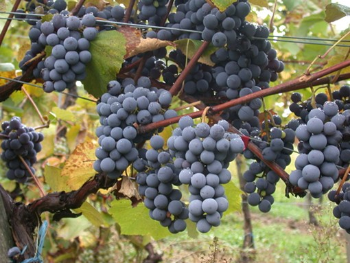 "Consider a wine made with gamay grapes for your Thanksgiving feast. - USER ""VIKING59,"" WIKIMEDIA COMMONS"