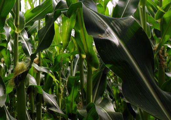 Corn, glorious corn! | FHgitarre
