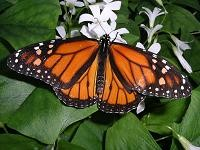 monarch011909.jpg