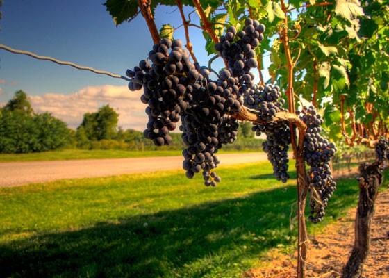 Ode to a grape? | Graham