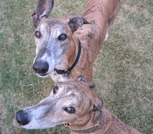 Greyhounds: Take two of these and call me in the morning. - KRISTIE MCCLANAHAN