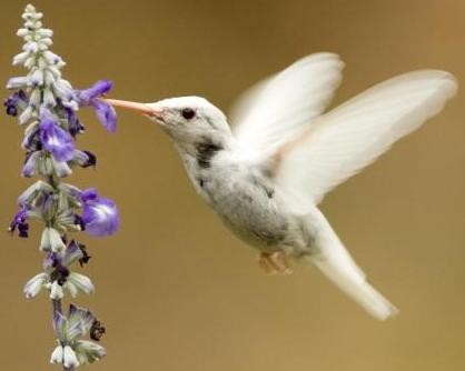This albino ruby-throated hummingbird, seen in Kansas City, faces an uphill battle for survival. - MISSOURI DEPARTMENT OF CONSERVATION