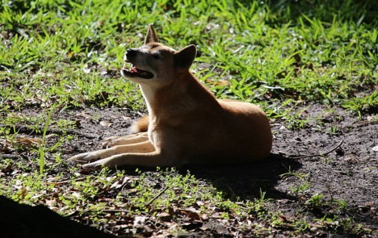 The New Guinea singing dog ain't got nuthin' on St. Louis bands. - CUATROK77 | FLICKR