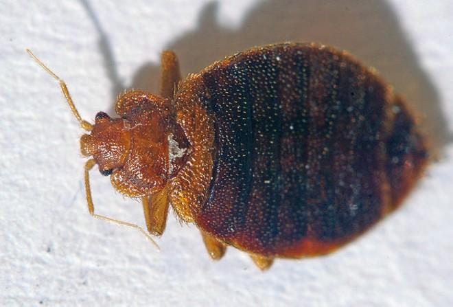 Bed bugs ... ewww! - FLICKR/TOM SPINKER
