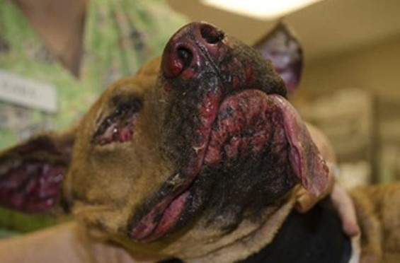 Brownie the dog was found barely alive with burns covering most of his body. - VIA STRAYRESCUE.ORG