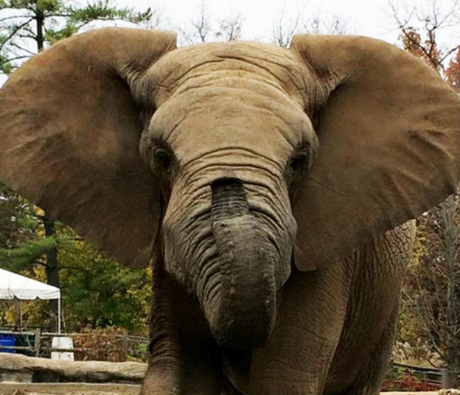 Max is the third elephant at Grant's Farm to die in two weeks. - COURTESY ANHEUSER-BUSCH