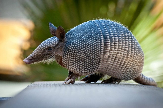 The Nine-Banded Armadillo has marched north across Missouri and has reached the doorstep of St. Louis. - SHUTTERSTOCK/HEIKO KIERA