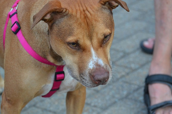 Activists took to Florissant's City Council meeting Monday night in an attempt to persuade the council and Mayor Tom Schneider to repeal the city's pit bull ban. - PHOTO COURTESY OF FLICKR/TONY ALTER