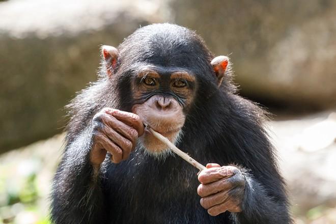 A chimpanzee - SHUTTERSTOCK/LEV LEVIN