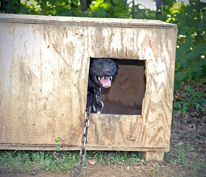 Fay, lipless, sits in a plywood box with a heavy chain around her neck. 'It's very common in a fight for two dogs to hook on to each other's lips and continue to fight, so what the handlers will do to release them is to cut their lips off,' Tim Rickey explains in Bizelli's book, Last Day On A Chain. - MIKE BIZELLI
