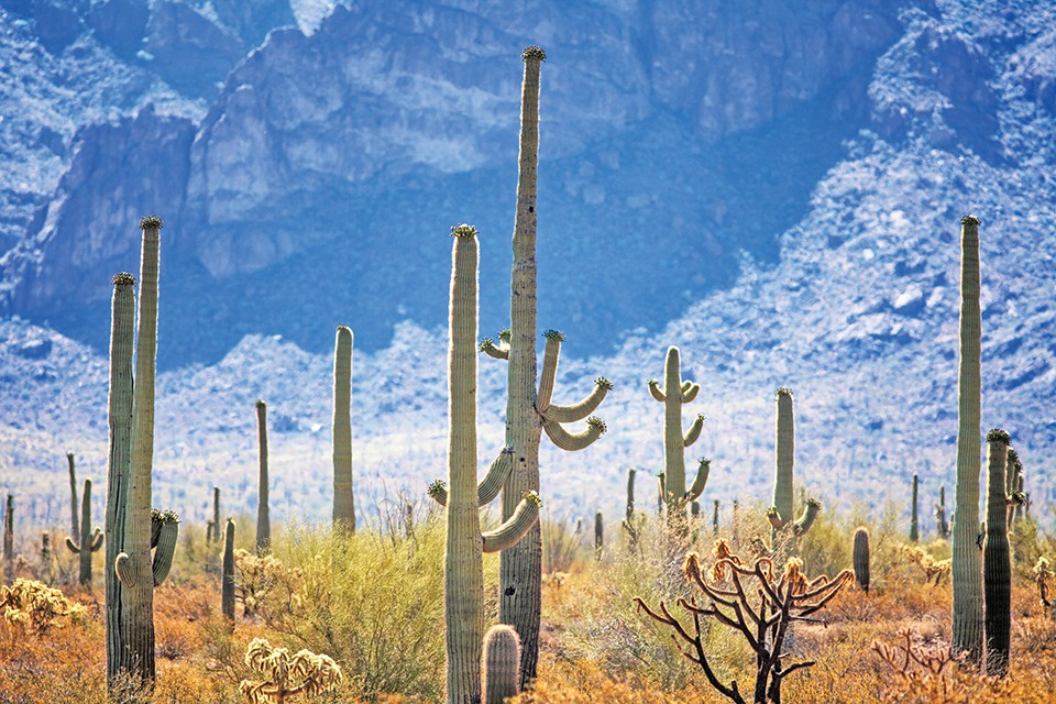 The saguaros of Organ Pipe Cactus National Monument stand tall beside the road that runs between Lukeville, Arizona, and Puerto Penasco, Mexico. - JOSHUA ROWAN