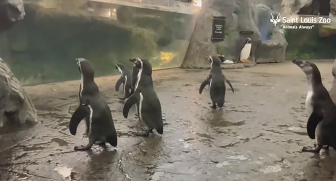 Humboldt penguins are magic. - SCREENGRAB FROM THIS SAINT LOUIS ZOO VIDEO