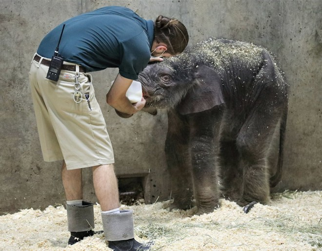 Avi the baby elephant arrived in the world to a zoo-full of love. But tragedy struck. - KATIE PILGRAM-KLOPPE, SAINT LOUIS ZOO