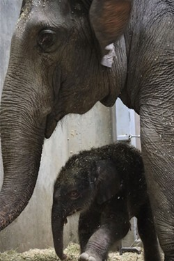 Avi and his mother, Rani. - MADI CULBERTSON, SAINT LOUIS ZOO