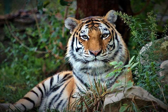 Kalista the Amur tiger. - SAINT LOUIS ZOO
