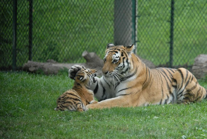 Kalista and one of her cubs. She gave birth to five cubs in 2008. - SAINT LOUIS ZOO
